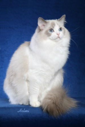 Purebed Ragdoll Cats and Kittens for Sale | Riterags Ragdolls
