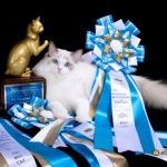 Best Ragdoll in RFCI Show and Regional Grand Champion, Riterags James Bond