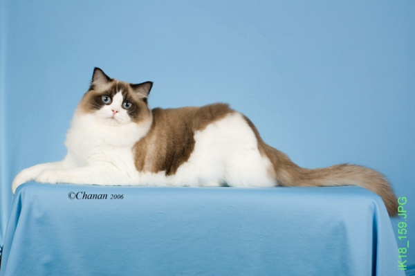 Ragdoll Cats And Kittens For Sale Riterags Ragdolls