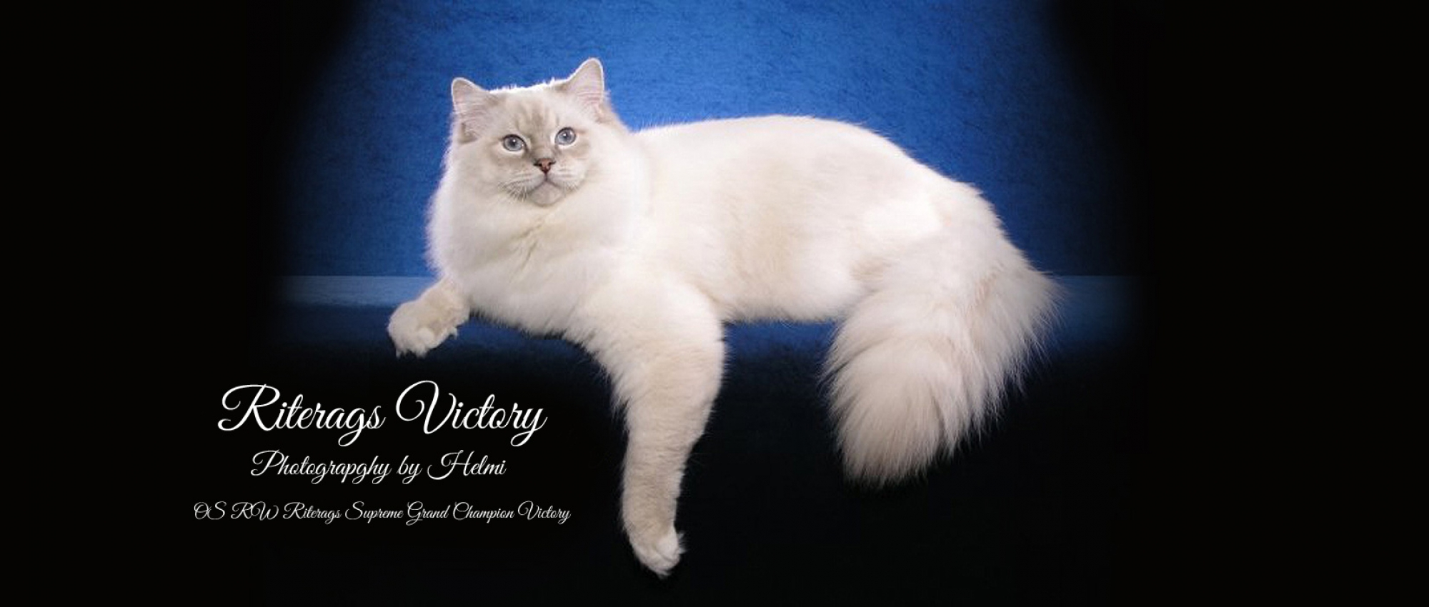 Ragdoll Cats and Kittens for Sale
