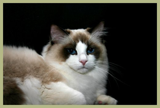 Male Ragdoll Cats for Sale South Carolina | Riterags Ragdolls
