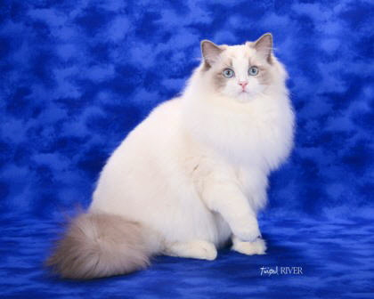 Purebred Adult Male Ragdoll Cats in South Carolina