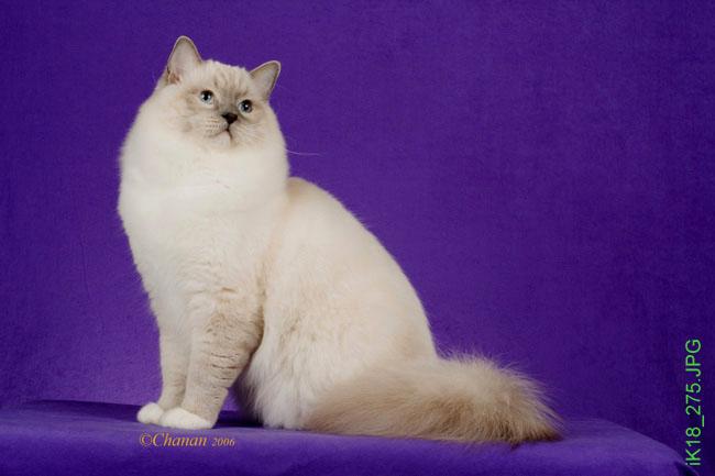 Fully grown ragdoll cat
